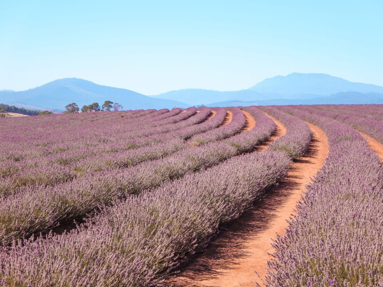 jana meerman bridestowe lavender farm launceston (1)