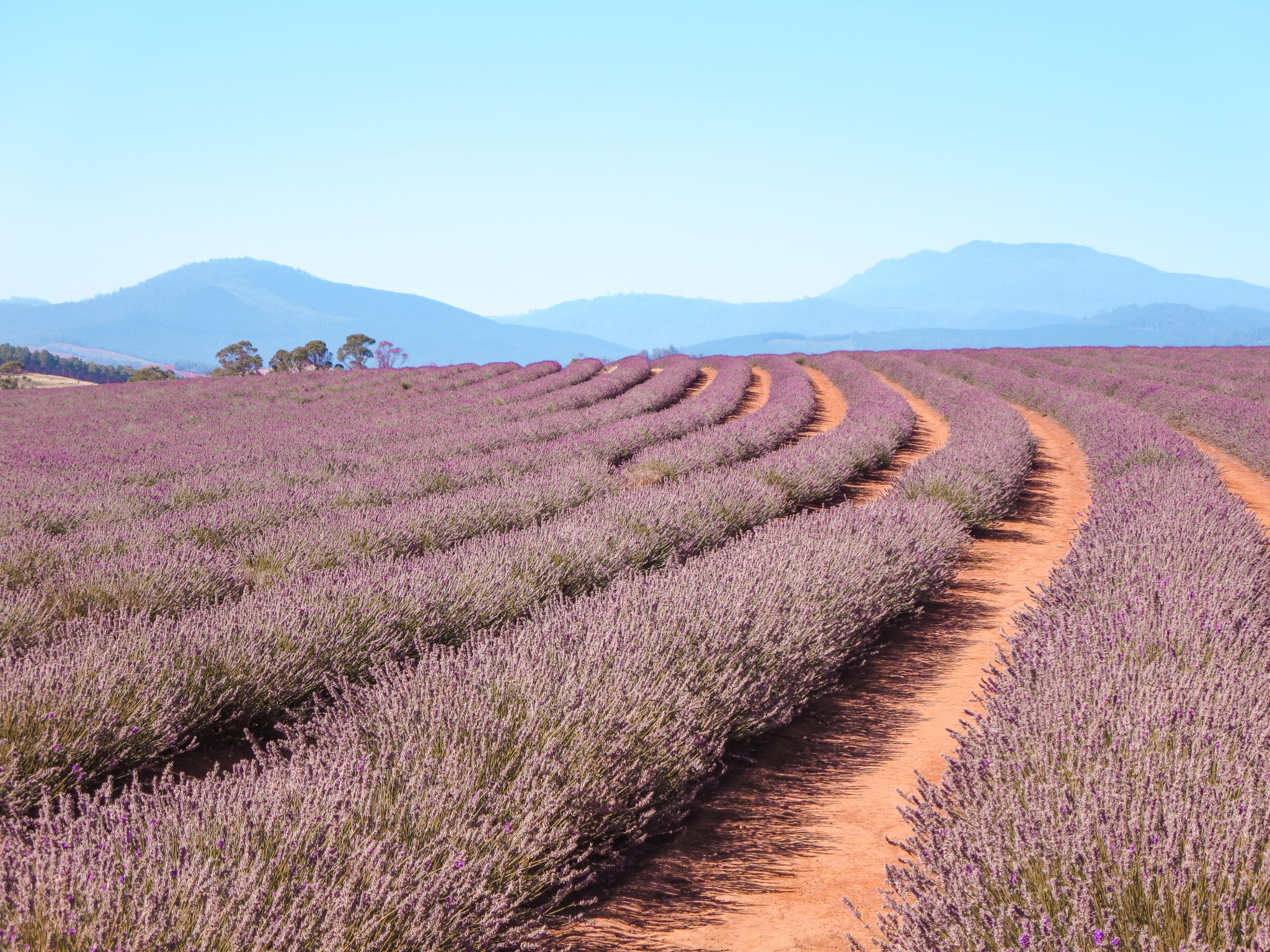 jana meerman bridestowe lavender farm launceston (1)