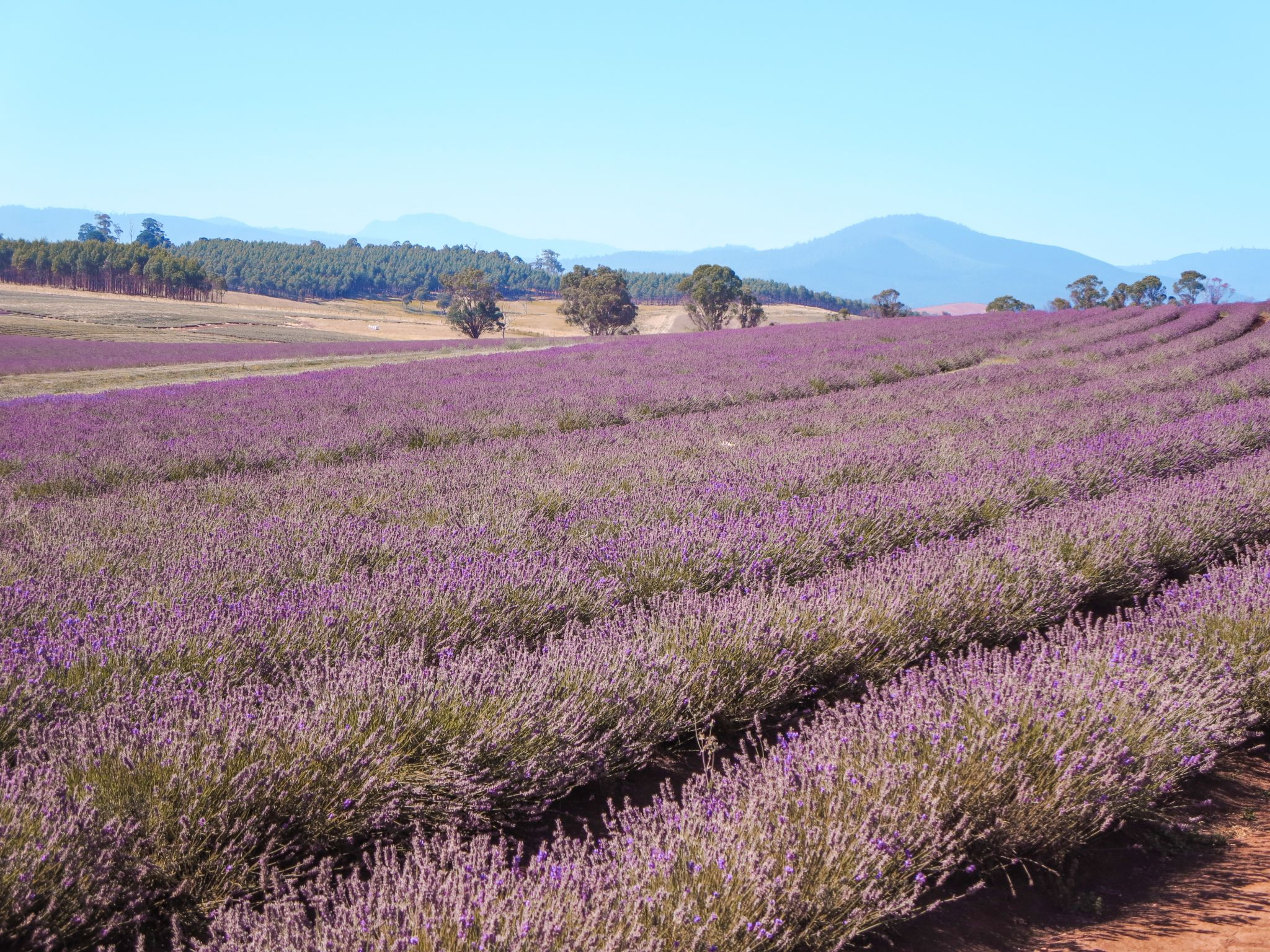 jana meerman bridestowe lavender farm launceston (6)