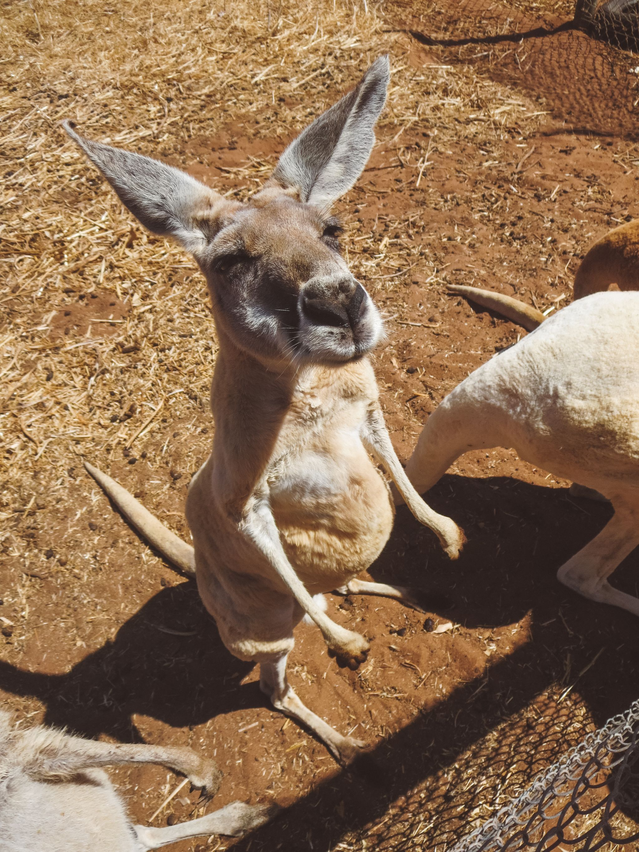 jana meerman greenough wildlife park australia kangaroo (1)