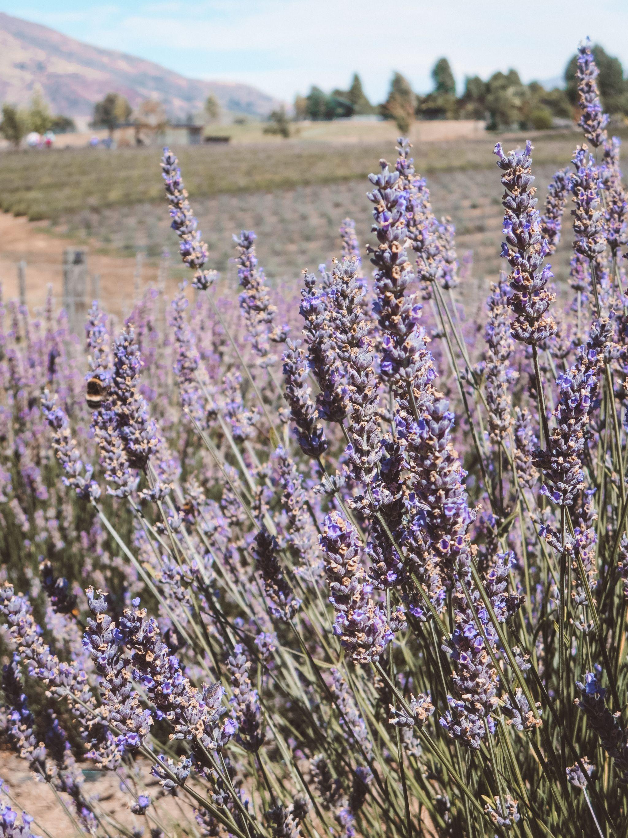 jana meerman wanaka lavender farm (21)