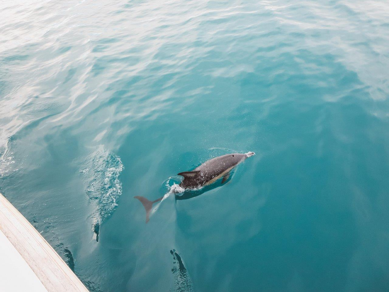 jana meerman dolphin encounter kaikoura (1)